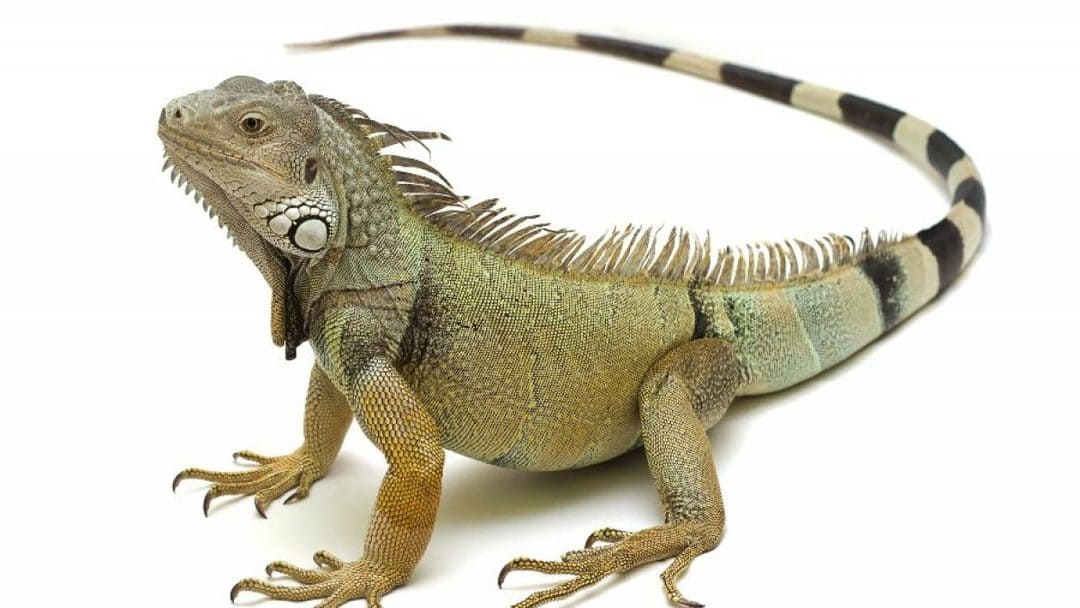 Animales exoticos iguana grande