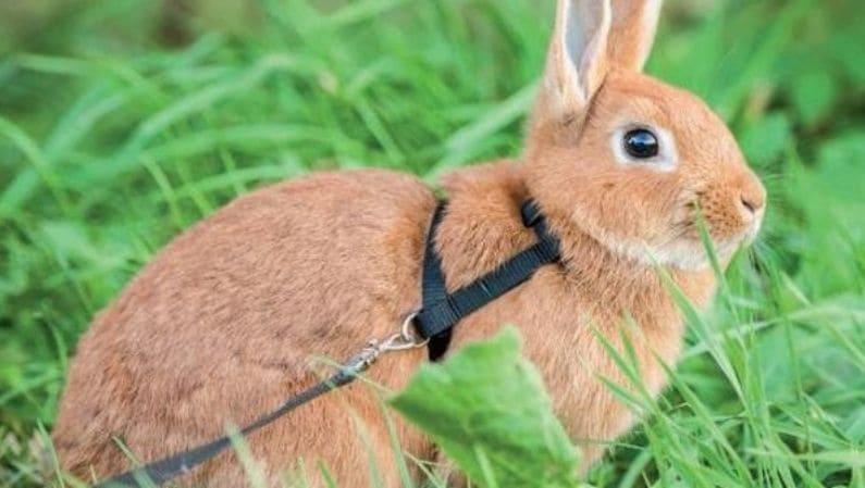 Conejos domésticos