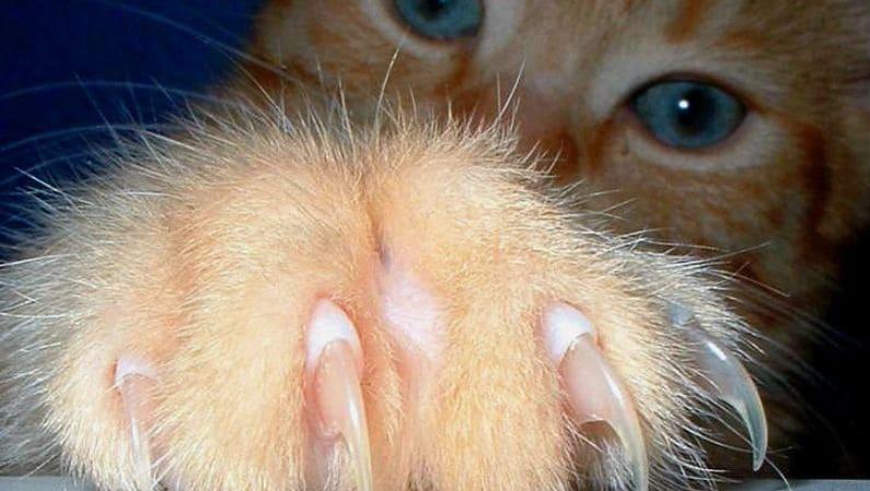 Desungulación felina