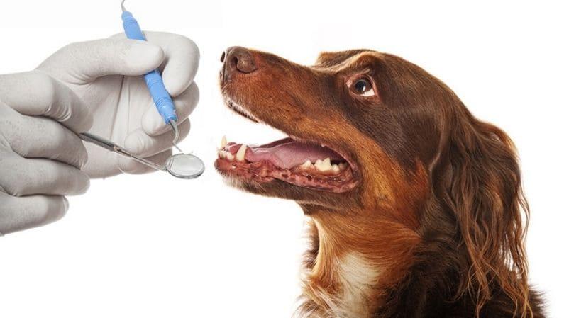 Limpieza bucal en mascotas