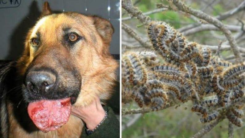 Procesionaria: qué hacer si a tu perro le pica una oruga