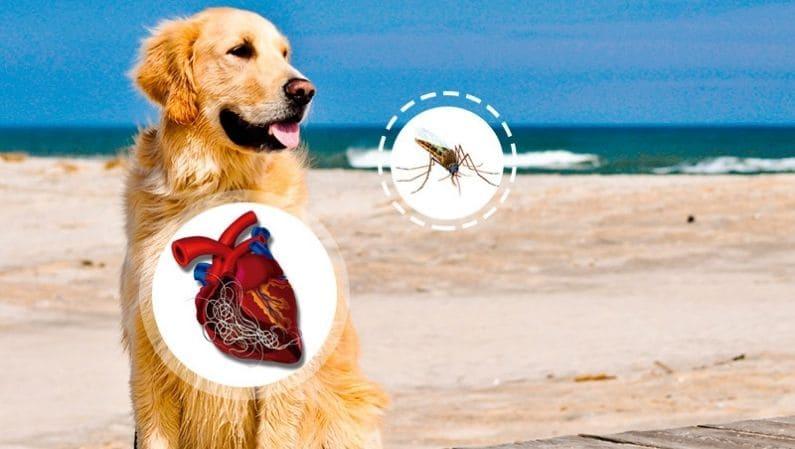 Filariosis canina (enfermedad del gusano del corazón), campaña preventiva